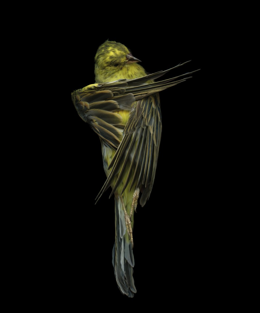 Edgar Leciejewski, Yellowhammer #07, 2009. From the series Aves, 2003-09