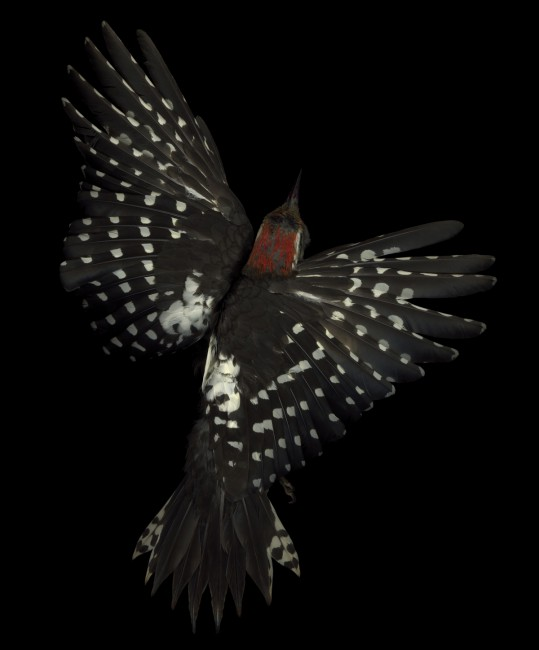 Edgar Leciejewski, </span><span><em>Middle Spotted Woodpecker #03</em>, </span><span>2005. From the series &quot;Aves,&quot; 2003-09