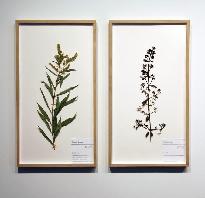 Corin Sworn, </span><span><em>Botanical specimen (Scottish goldenrod) and Botanical specimen (madder)</em>, </span><span>2014. Courtesy of Oakville Galleries.