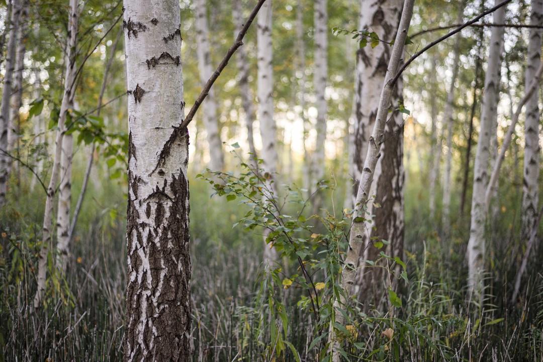 Lisa Robertson , Birch Forest, 2016