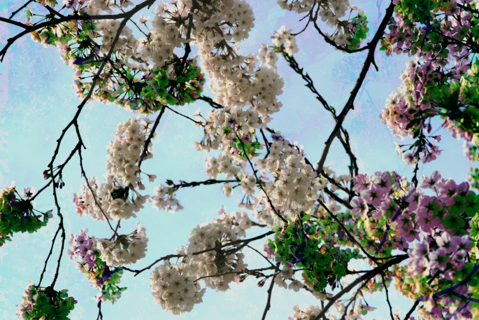 Miki Shinozaki, </span><span><em>Sakura</em>, </span><span>2012