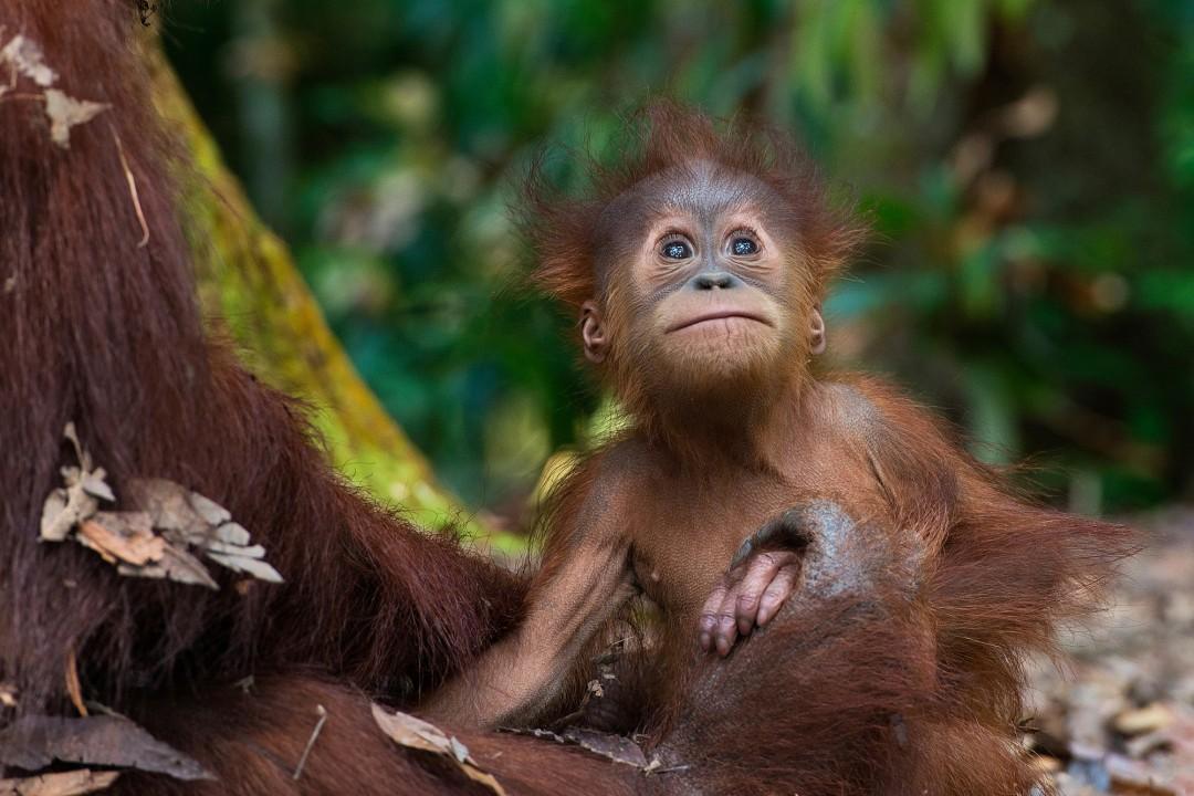 Gita Defoe, Critically endangered Sumatran orangutan, 2015