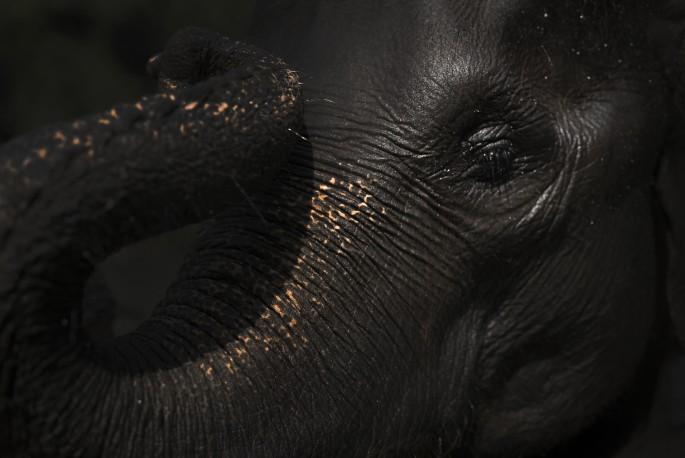 Danielle Da Silva, </span><span><em>Critically endangered Sumatran elephant</em>, </span><span>2016