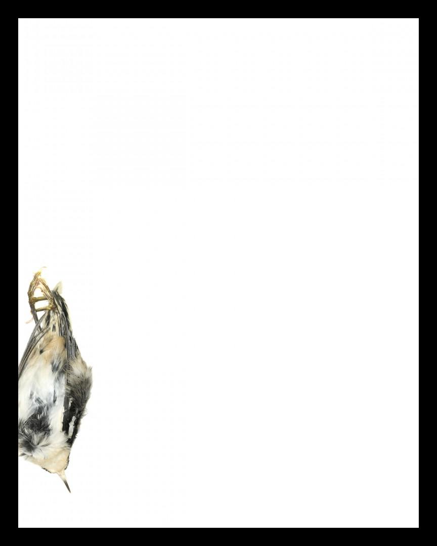 "Thaddeus Holownia, Black and White Warbler, Icarus, A Falling of Birds, 2016. Chromogenic print, 20x24""."