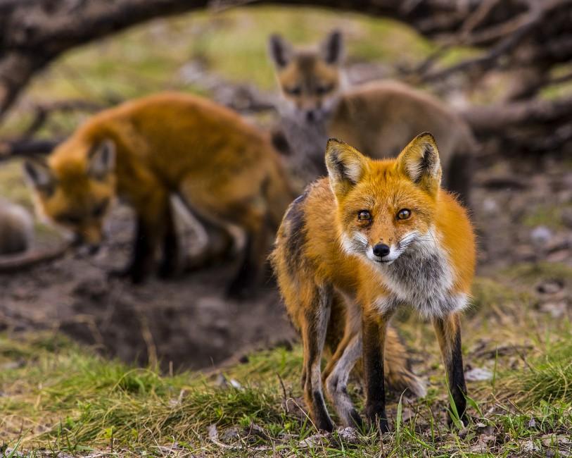 Kim Lowes, </span><span><em>Fox Den Guard</em>, </span><span>2017