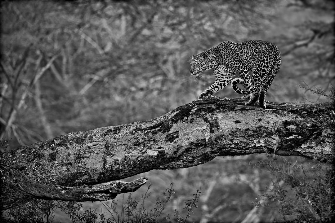 Mark L. Freedman, </span><span><em>Leopard in Tree</em>, </span><span>2017