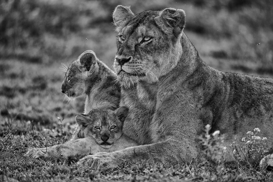 Mark L. Freedman, </span><span><em>Lioness and Cubs</em>, </span><span>2017
