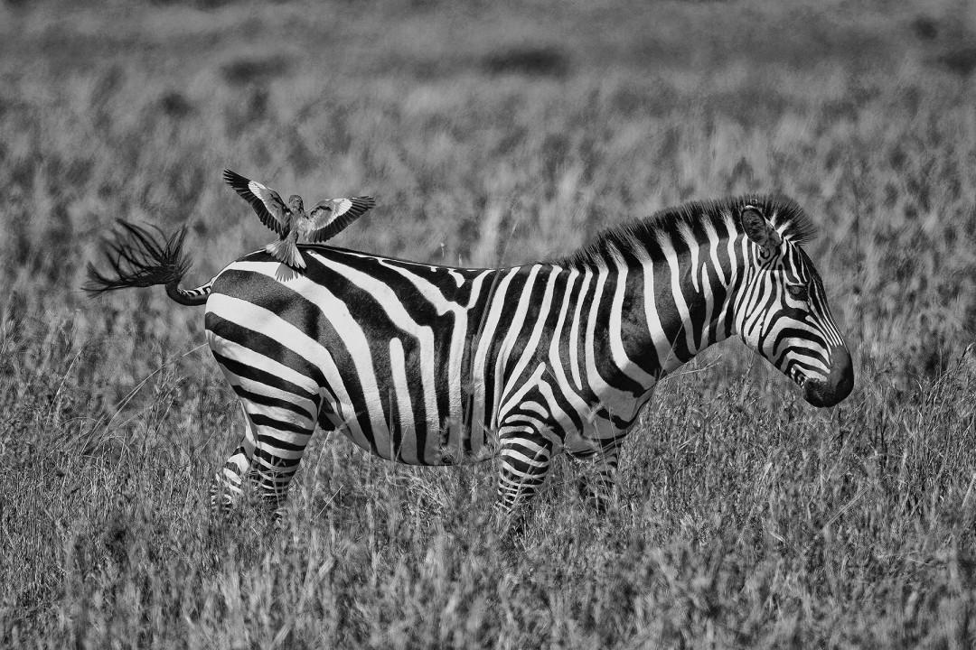 Mark L. Freedman, </span><span><em>Roller on Zebra</em>, </span><span>2017