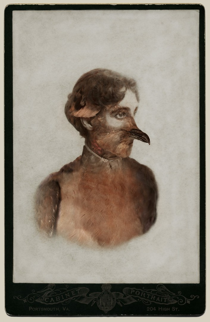 """Sara Angelucci, Female Passenger Pigeon/extinct, 26"""" x 38,Aviary Series, chromogenic prints, 2013."""
