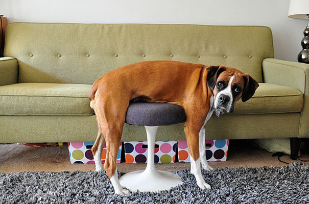 25 Cats And Dogs Battle Human Furniture