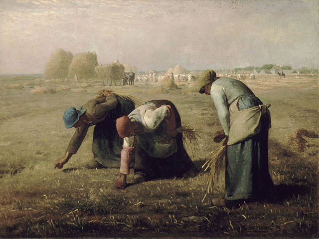 Three women gather up the remains of corn stalks, after the harvest has been completed.