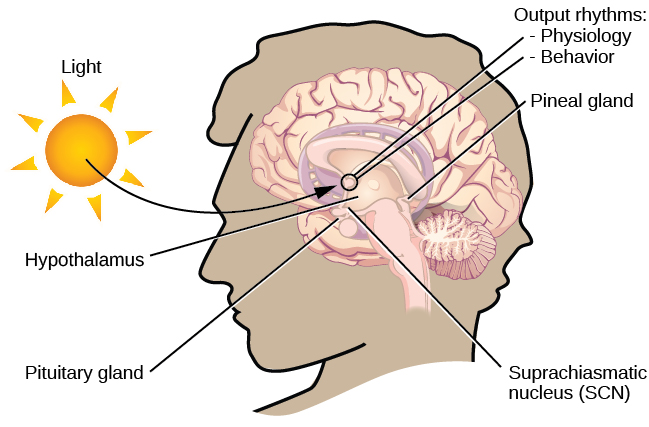 "In this graphic, the outline of a person's head facing left is situated to the right of a picture of the sun, which is labeled ""light"" with an arrow pointing to a location in the brain where light input is processed. Inside the head is an illustration of a brain with the following parts' locations identified: Suprachiasmatic nucleus (SCN), Hypothalamus, Pituitary gland, Pineal gland, and Output rhythms: Physiology and Behavior."