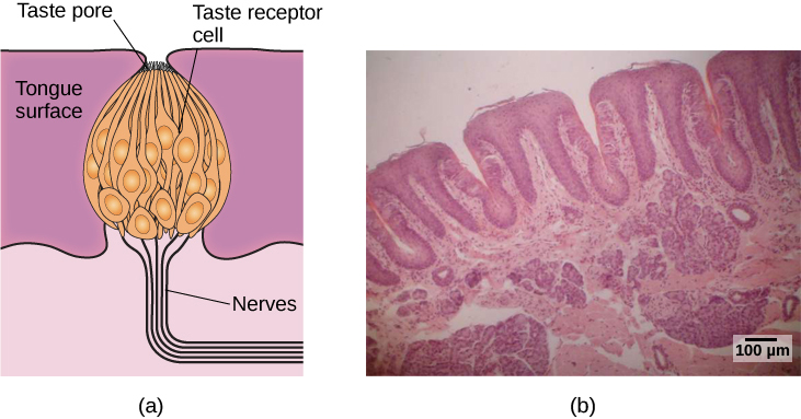 """Illustration A shows a taste bud in an opening of the tongue, with the """"tongue surface,"""" """"taste pore,"""" """"taste receptor cell"""" and """"nerves"""" labeled. Part B is a micrograph showing taste buds on a human tongue."""