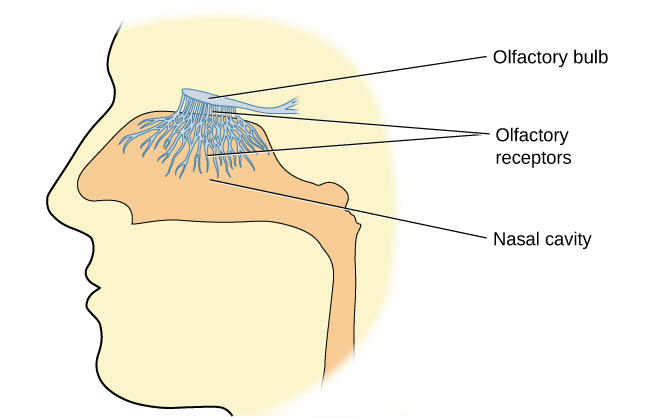 """An illustration shows a side view of a human head and the location of the """"nasal cavity,"""" """"olfactory receptors,"""" and """"olfactory bulb."""""""