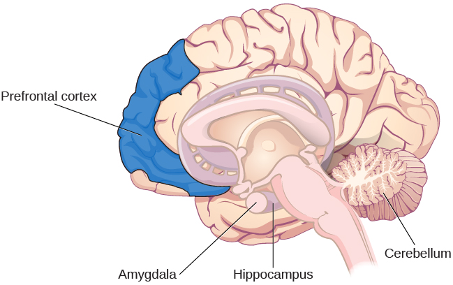 An illustration of a brain shows the location of the amygdala, hippocampus, cerebellum, and prefrontal cortex.