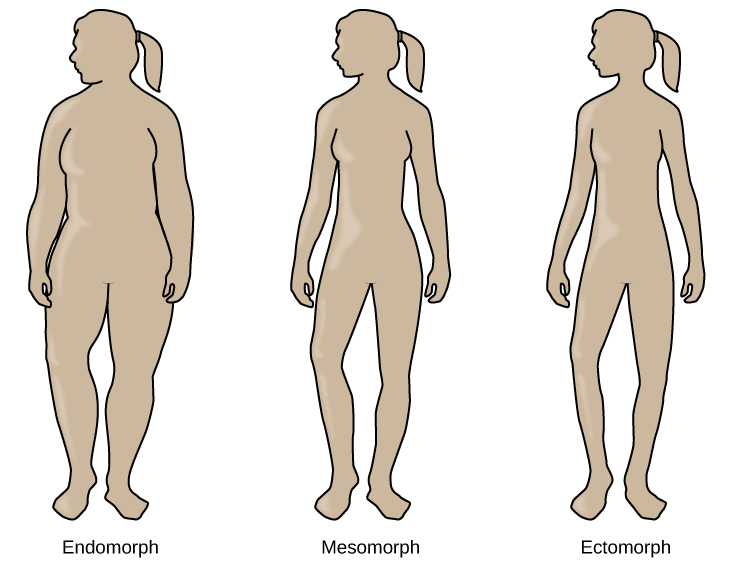 """The outlines of three human somatotypes are shown. The first is labeled, """"Endomorph,"""" the second is labeled """"Mesomorph,"""" and the third is labeled """"Ectomorph."""" Endomorphs are slightly larger than mesomorphs, and ectomorphs are slightly smaller than mesomorphs."""