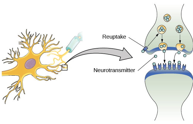 Cells of the Nervous System | Introductory Psychology