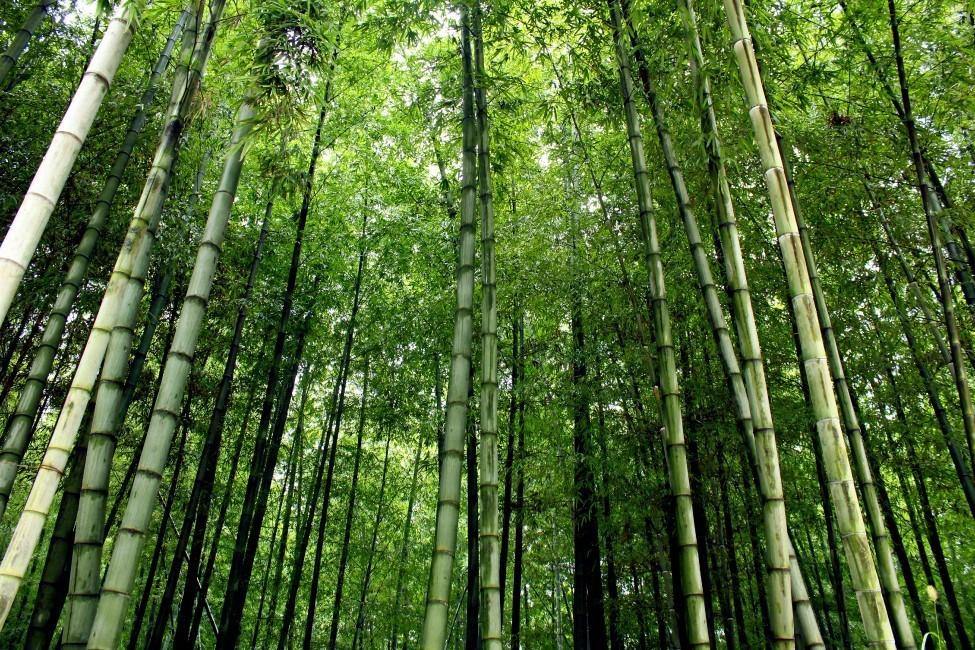 An upward view of bamboo trees.