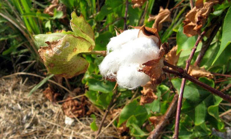 A photograph of a cotton plant.
