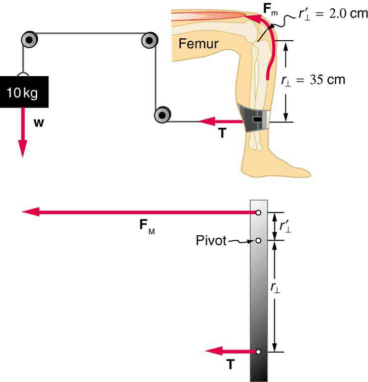 Pulleys Equilibrium : Forces and torques in muscles joints physics