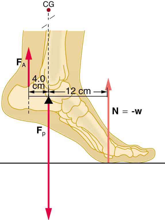 A foot of a person is shown. The ankle is slightly above the ground. There is a force in F-A on the back part of ankle, which is in upward direction. The weight of the leg is downward. The normal reaction is acting at the front foot in upward direction. The perpendicular distance between the normal reaction and the force F-A is sixteen centimeters. There is a point between these two forces where a force F-P is shown, which acts as fulcrum of the simplified lever system.