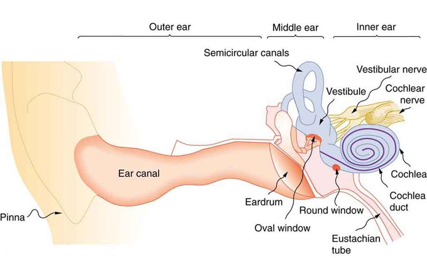 Hearing physics the picture shows the anatomy of a human ear all organs in the ear are ccuart Image collections
