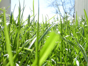 Grass, from eye level