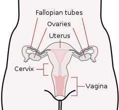 female reproductive system diagram showing the vagina, cervix, uterus, ovaries, and fallopian tubes.