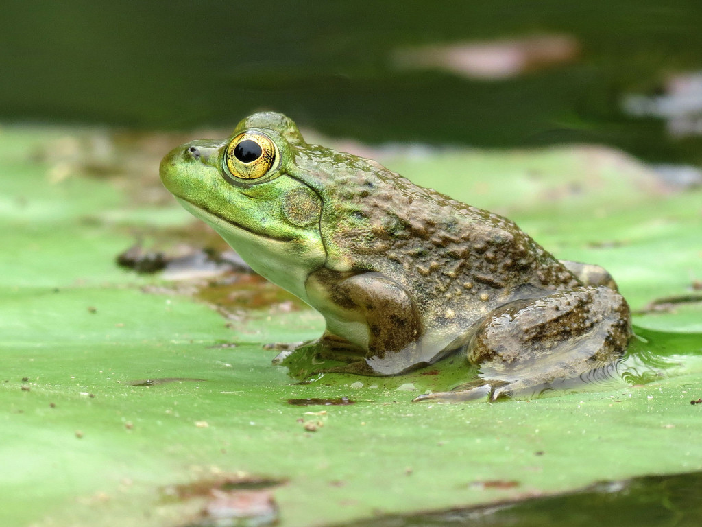 Photo of a frog on a lily pad.