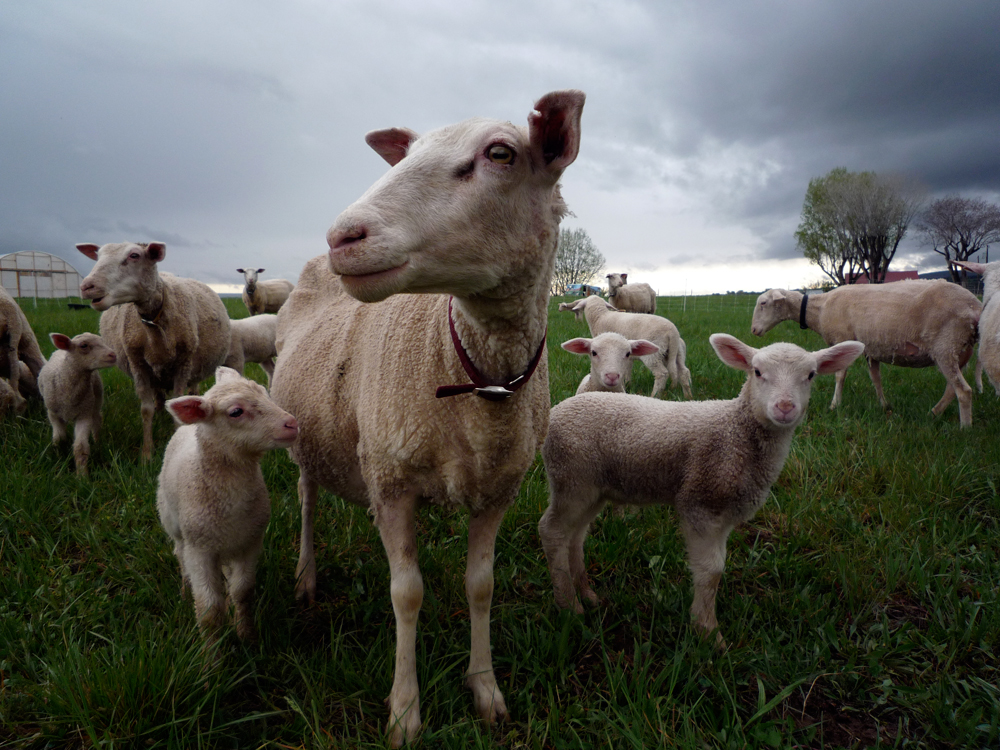 Photo of sheep and lambs at Zephyros Farm and Garden.