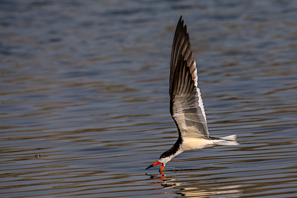A bird flying close to water and dipping its bright beak in the water.