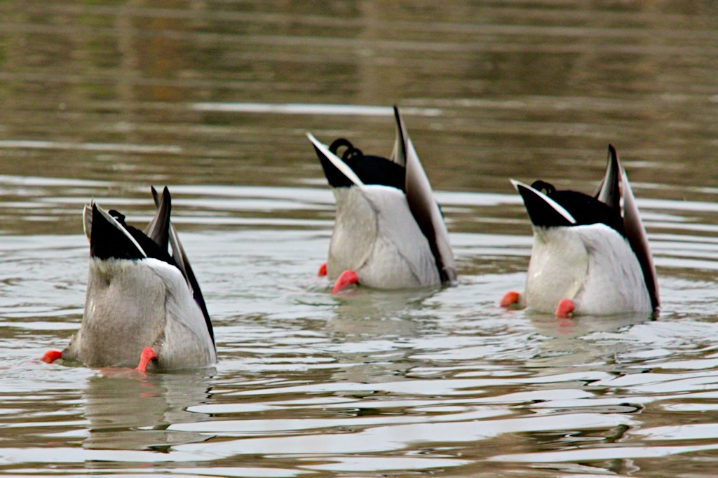 Three birds on the water. Their butts are stuck up in the air as the birds' heads dive beneath the water.
