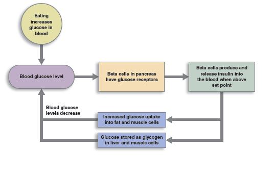 negative feedback loop of the control of blood sugar levels.