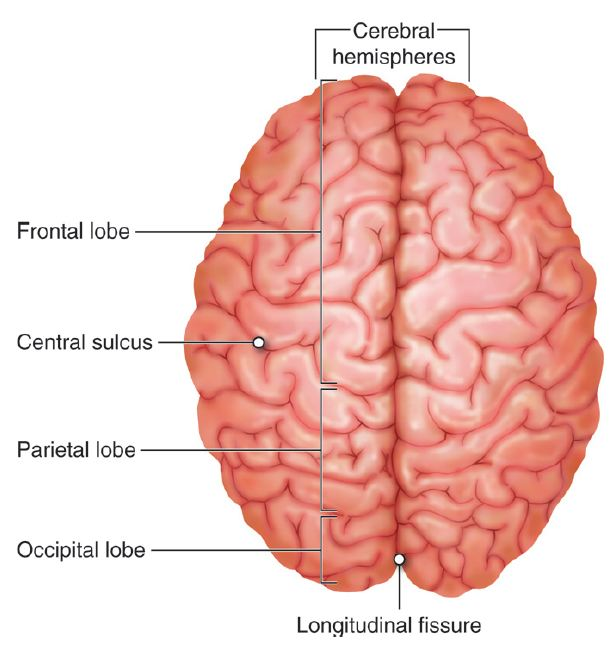 Brain Anatomy And Physiology I