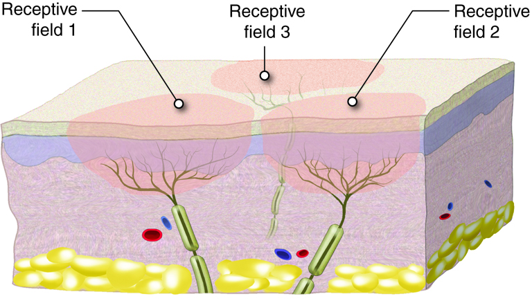 Receptive field areas around a sensory receptor.