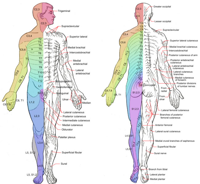 spinal dermatomes chart anatomical chart gallery