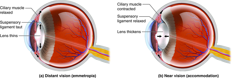 Accommodation of the lens with distant and near vision. As the suspensory ligaments are pulled tight, the lens lengthens and thins, and as the suspensory ligaments relax, the lens shortens and widens.