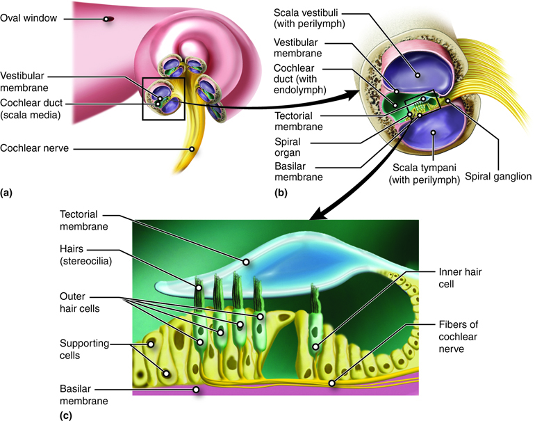 Anatomy of the Cochlea. The cochlea is a spiral structure (a) divided into three chambers (b). The middle chamber, the cochlear duct, contains the spiral organ that has hair cells (c) for sensing the vibrations we perceive as sound.