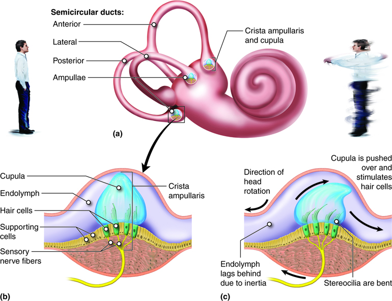 Structure and Function of the Semicircular Canals. The three canals each have an ampulla containing a crista ampullaris and cupula (a). When the head is stationary, the cupula, and embedded stereocilia, are not bent (b). When the head rotates in the same plane as one of the canals, the fluid in the canal (endolymph) lags, leading to bending of the stereocilia in the cupula, which initiates nerve impulses.