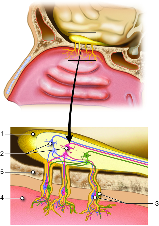 Special Senses: Smell (Olfaction) | Anatomy and Physiology I