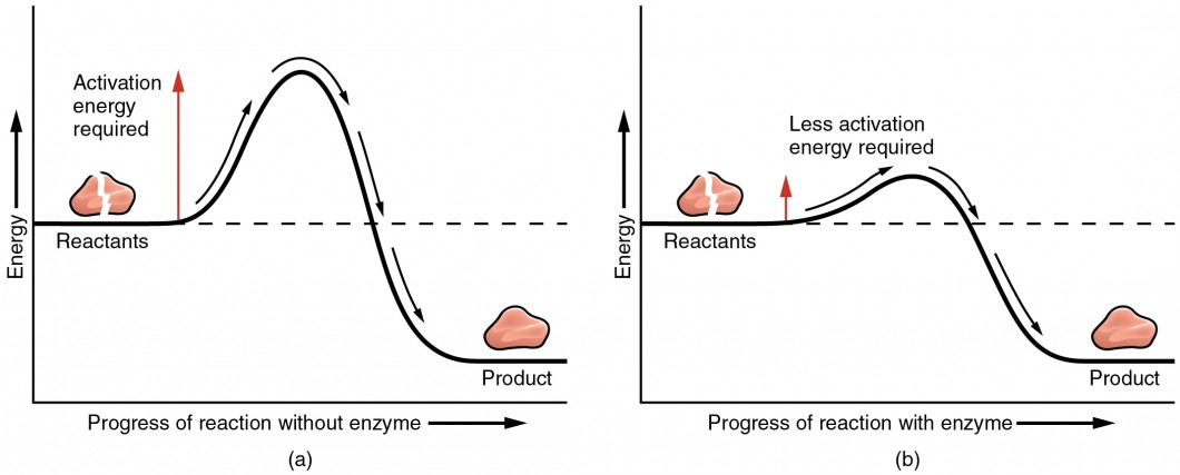 The left panel shows a graph of energy versus progress of reaction in the absence of enzymes. The right panel shows the graph in the presence of enzymes.