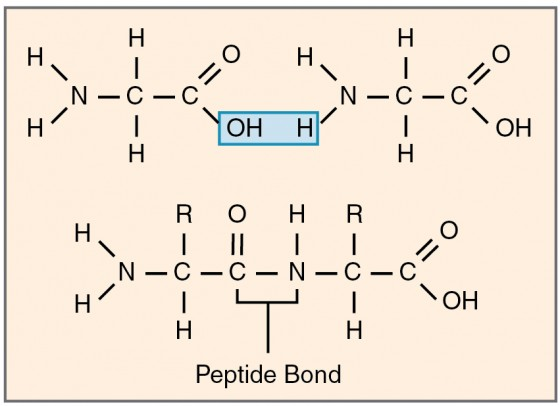 This figure shows the formation of a peptide bond, highlighted in blue.