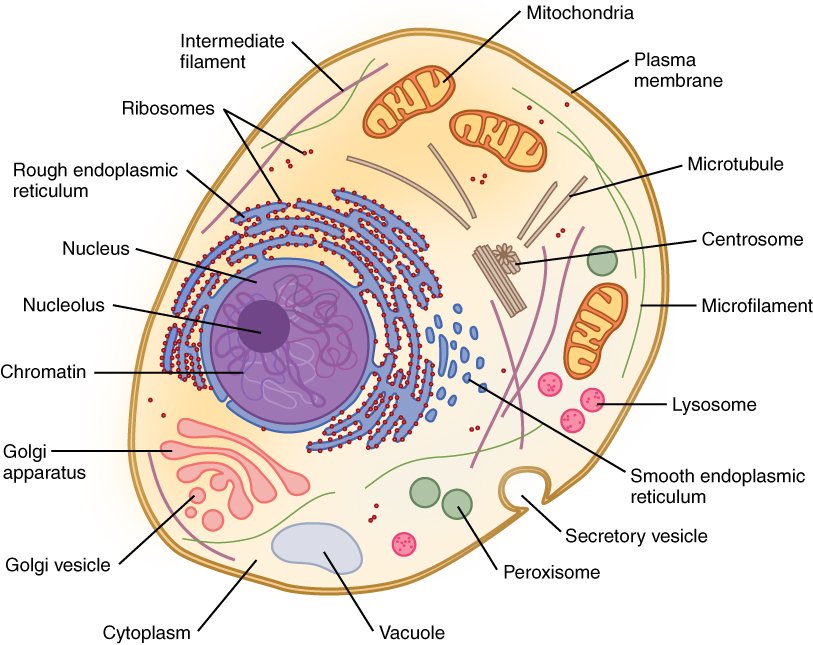 Human cell diagram nucleoplasm electrical work wiring diagram the nucleus and cytoplasm anatomy and physiology rh courses lumenlearning com cell nucleus nucleoplasm em ccuart Choice Image