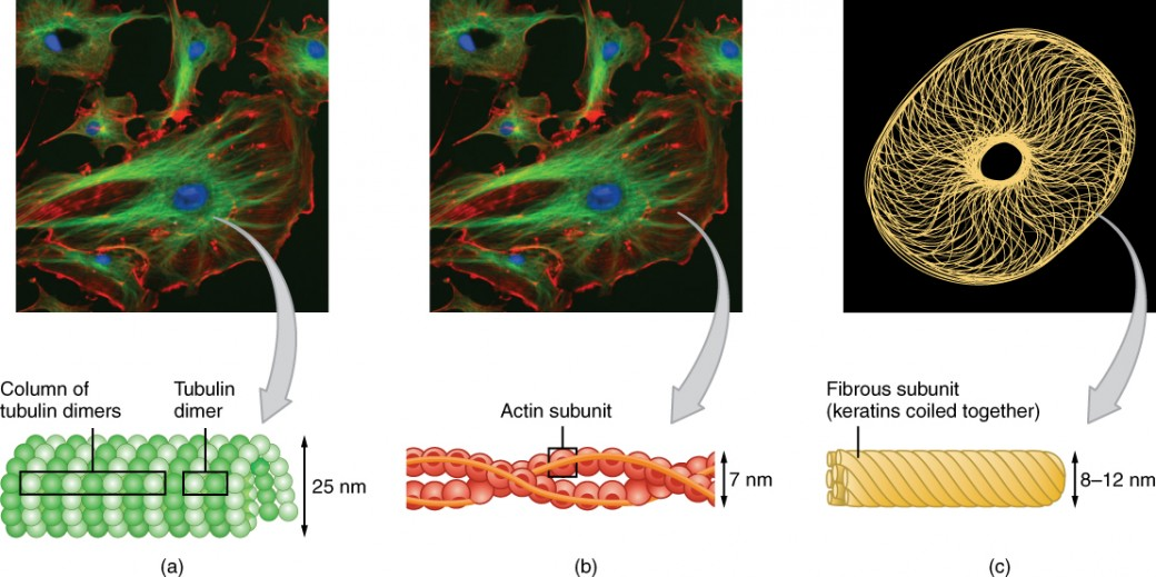 This figure shows the different cytoskeletal components in an animal cell. The left panel shows the microtubules with the structure of the column formed by tubulin dimers. The middle panel shows the actin filaments and the helical structure formed by the filaments. The right panel shows the fibrous structure of the intermediate filaments with the different keratins coiled together.