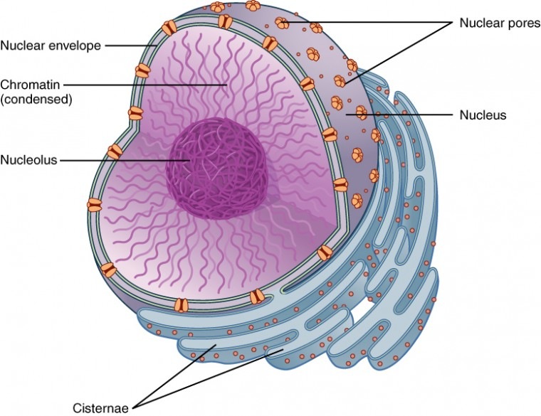 0318_Nucleus the nucleus and cytoplasm anatomy and physiology