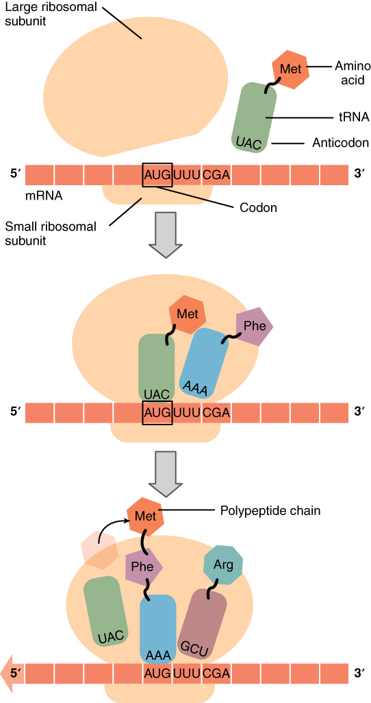 Protein Synthesis | Anatomy and Physiology I