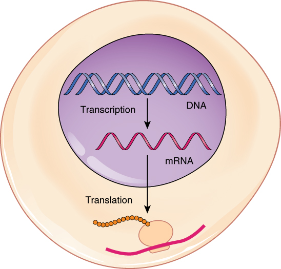 This figure shows a schematic of a cell where transcription from DNA to mRNA takes place inside the nucleus and translation from mRNA to protein takes place in the cytoplasm.