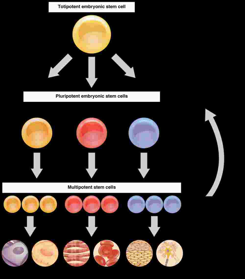 This flow chart shows the differentiation of stem cells into different cell types. The top layer shows a totipotent stem cell, which becomes a pluripotent stem cell and then a multipotent stem cell. A multipotent stem cell can then differentiate into different cell types.