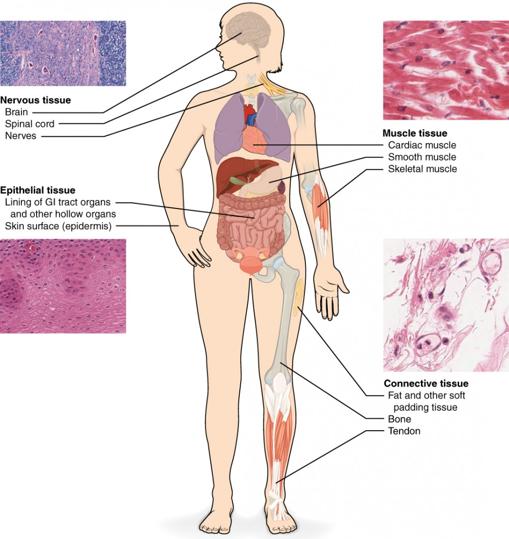 Types Of Tissues Anatomy And Physiology I