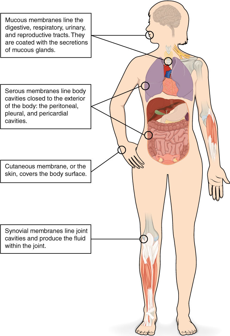 Body Membranes | Anatomy and Physiology